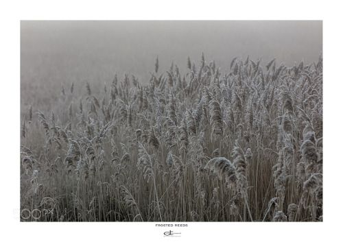 Frosted reeds by DavidTownsend  IFTTT 500px
