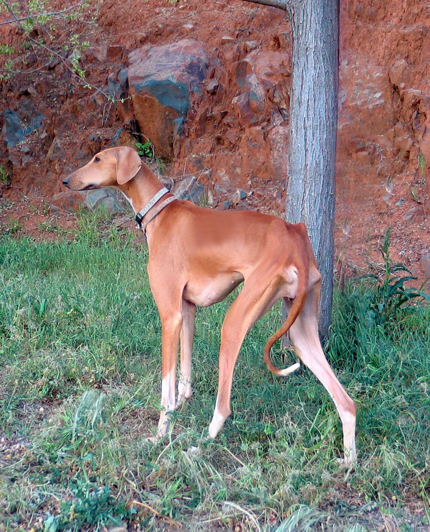 Azawakh Dogs 101 Goldenacresdogs