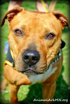 Meet Tony The Tiger A 3 Years 2 Months Terrier Hound Available For Adoption In Hastings Mn Pets Pet Adoption Pitbull Rescue
