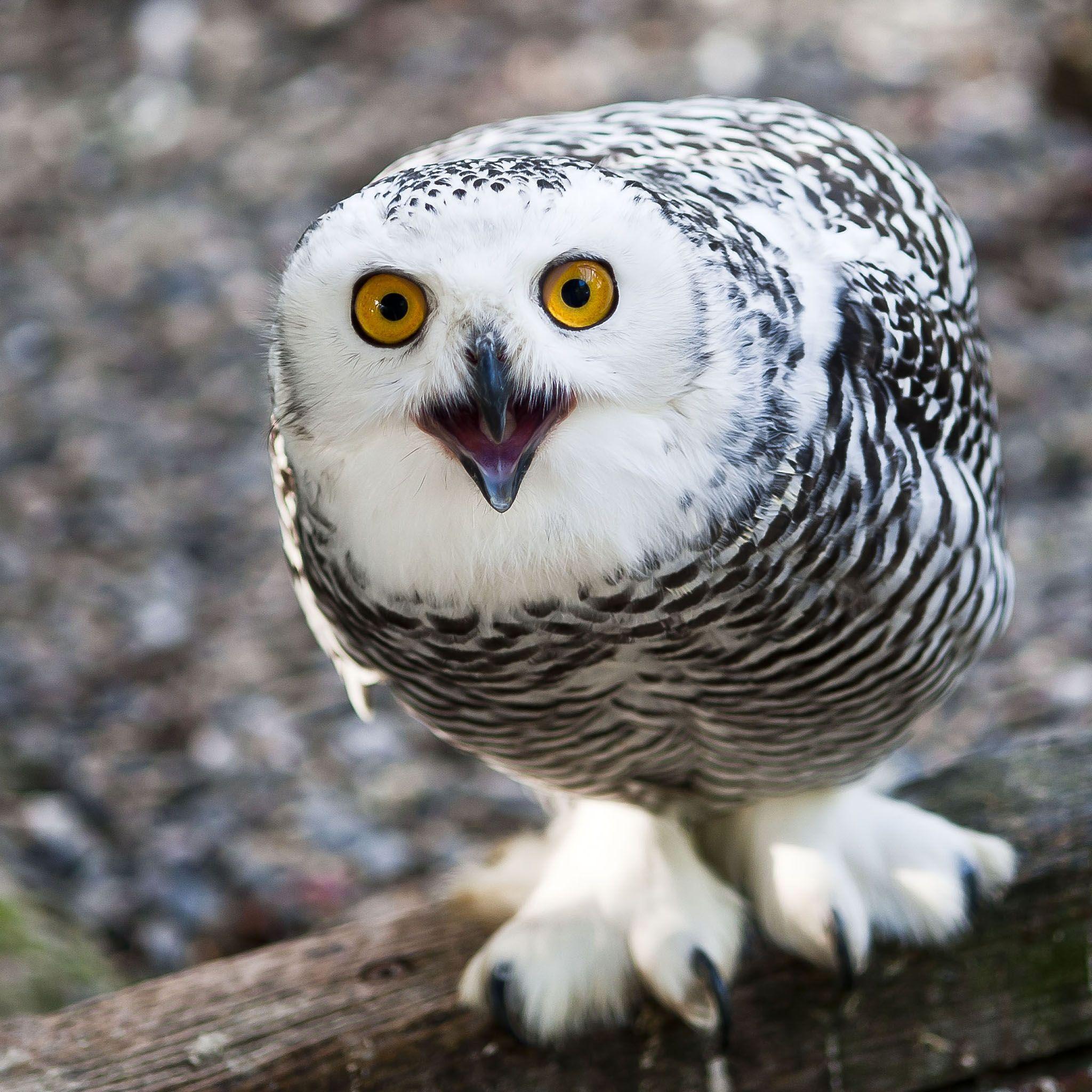 Snowy Owl Bird, Snowy Owl 2048 x 2048 iPod 3 wallpapers
