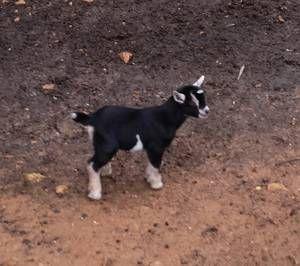 Louisville Farm Garden Goat Craigslist Possible Farm