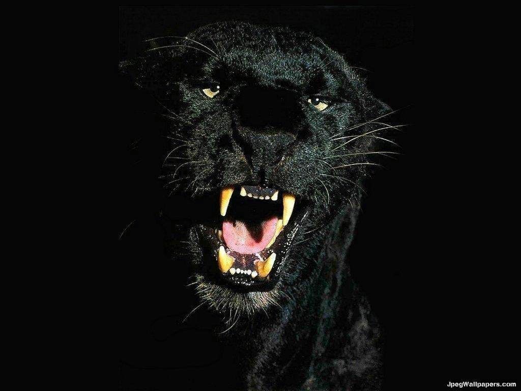 black jaguar wallpaper  Black Jaguar Wallpapers - Wallpaper Cave | Beautiful creatures (CATS ...
