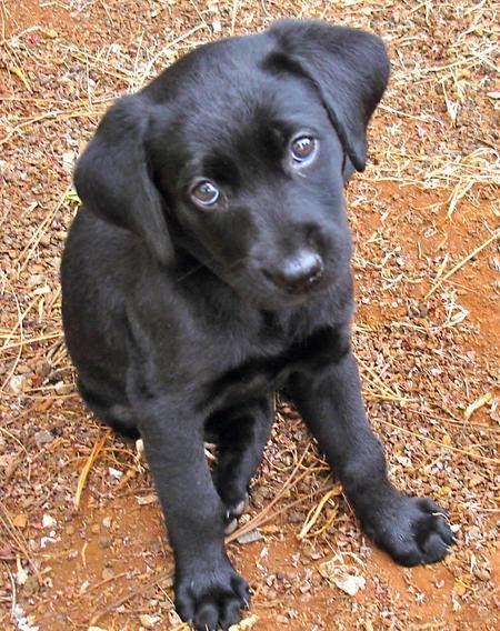 Bianca The Labrador Retriever Honden Dieren Hondjes