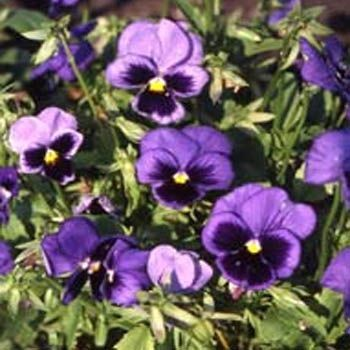 Pansy Seeds Pansy Ullswater Blue Flower Seed Flower Seeds Pansies Flowers Pansies