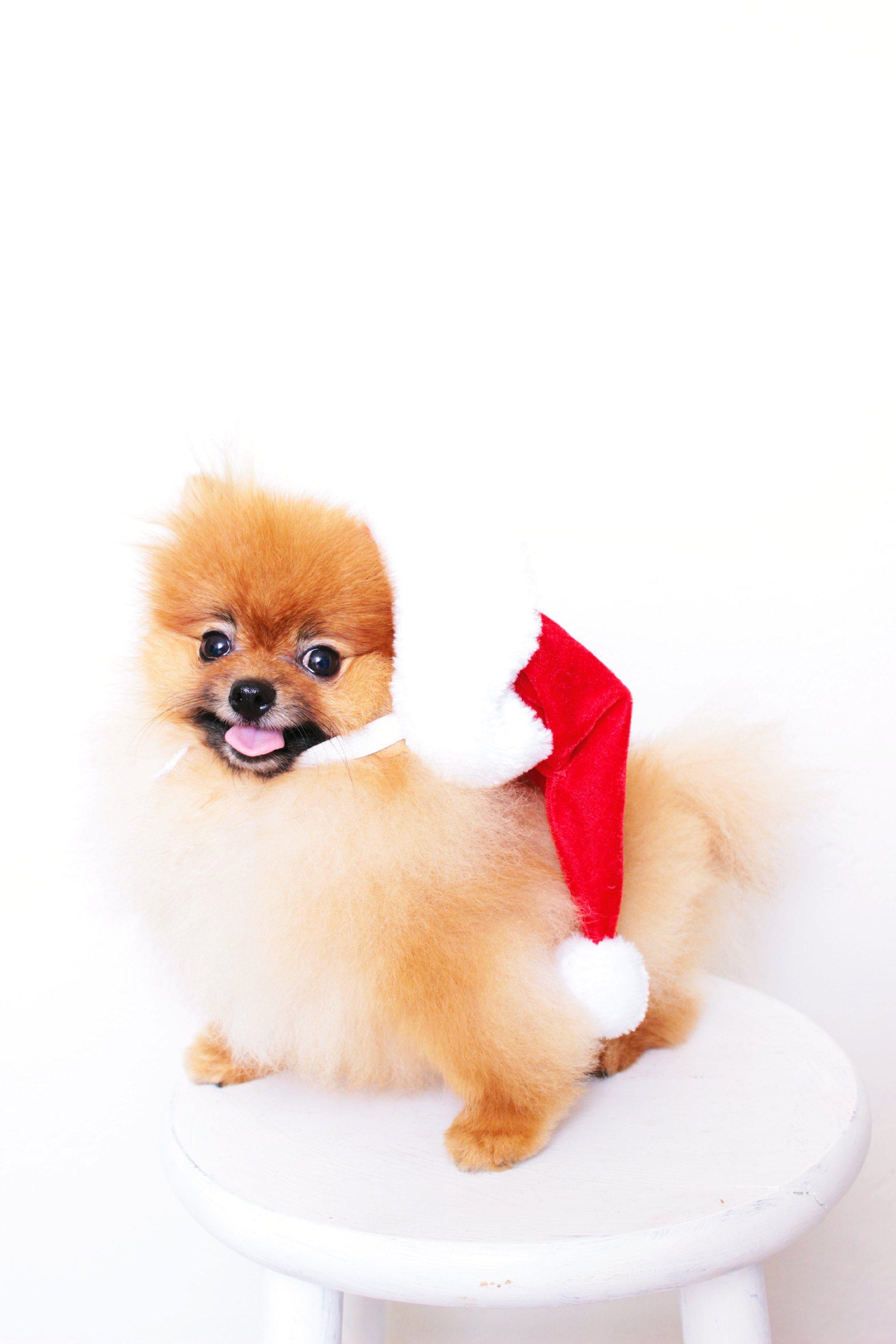 Wolfgang the Christmas Pomeranian