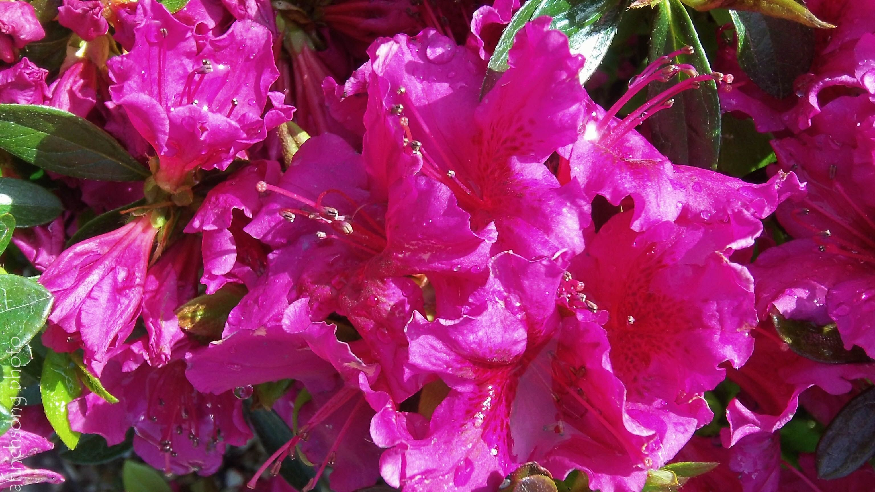 Azalea 'Girard's Purple'	GIRARD'S PURPLE AZALEA	flowering evergreen shrub	part sun	Size in 10 years: 3x3	Dense compact rounded	BLOOM: Dark purple	Single	Mid season	FOLIAGE: Evergreen	Well drained acidic soil	Protect from winter winds