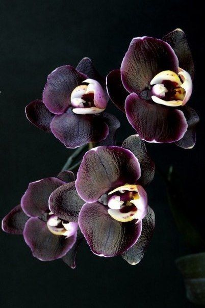 Black Orchid Orchideeen Tuinplanten Mooie Bloemen
