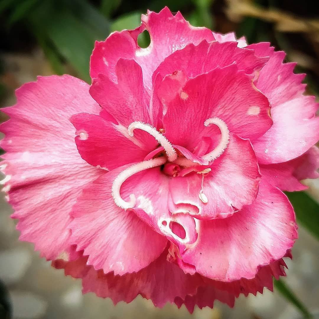 Dianthus Caryophyllus Commonly Known As The Carnation Or Clove Pink Is A Species Of Dianthus It Is Probably Nativ Dianthus Caryophyllus Carnations Perfumery