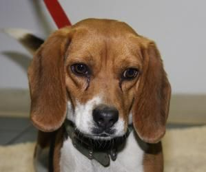 Winnie Puppies Appt Needed Is An Adoptable Beagle Dog In