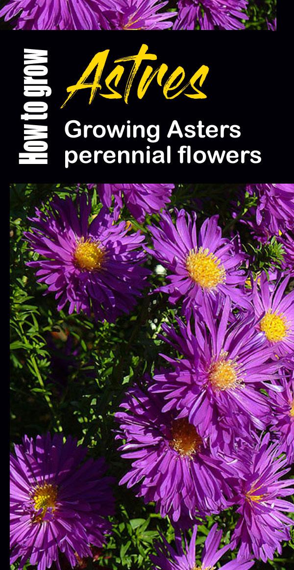 Aster Care Perennials Flowers Perennials Aster Flower