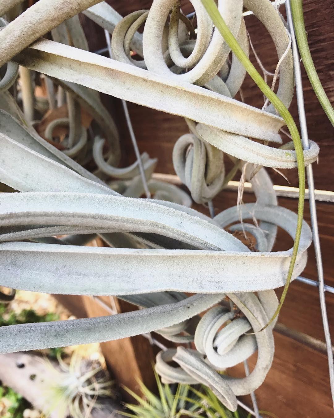 Curly-Q leaves on a Tillandsia duratii #airplant #tillandsia #livingwall .