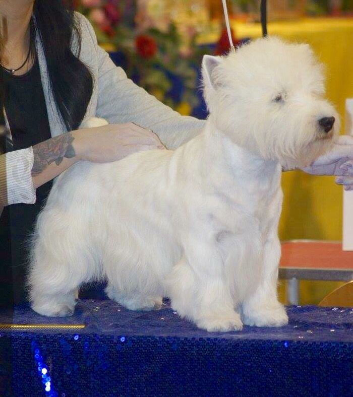 Stripping Westy West Highland White Terrier White Terrier Westies