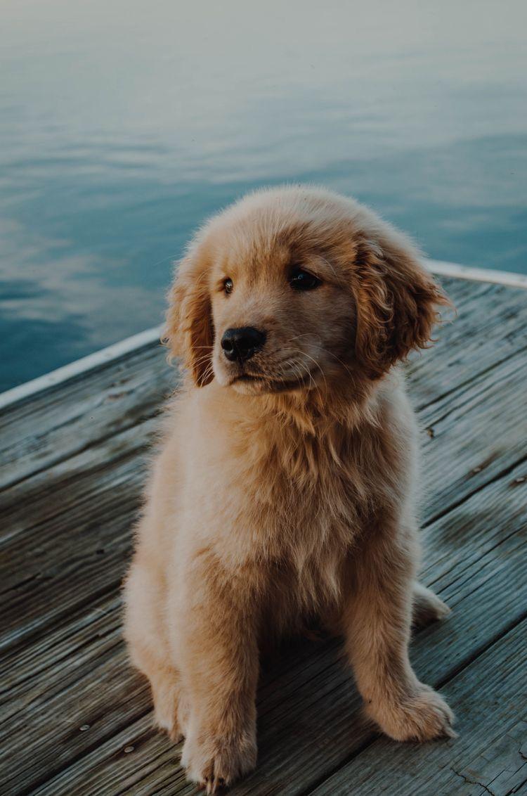 Golden Pup In 2020 Susse Hunde Welpen Tiere Hund Hunde