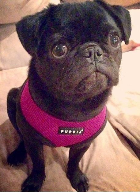 Puppia Purple Harness In Sizes Xs Xxl At Www Ilovepugs Co Uk Post