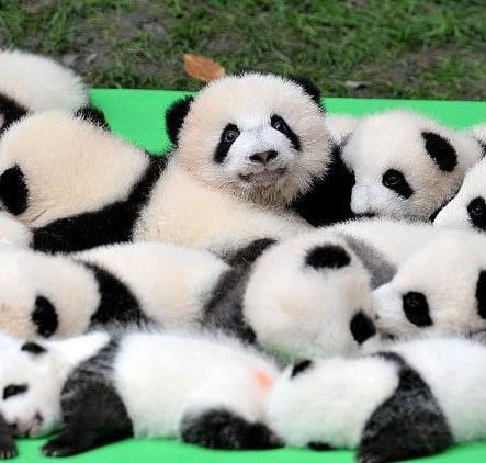 Theres so many cute baby pandas but that one just staring at the camera is so adorable . . . . #babybear #babypandas #panda #pandalover #pandacubs #bears #adorable #cute  #cuteasf #adorableanimals #cuteanimals #bearcubs #animal #photogenic #babypandas