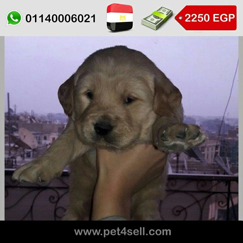 Egypt Cairo Golden Retriever Puppies For Sale Age 35days