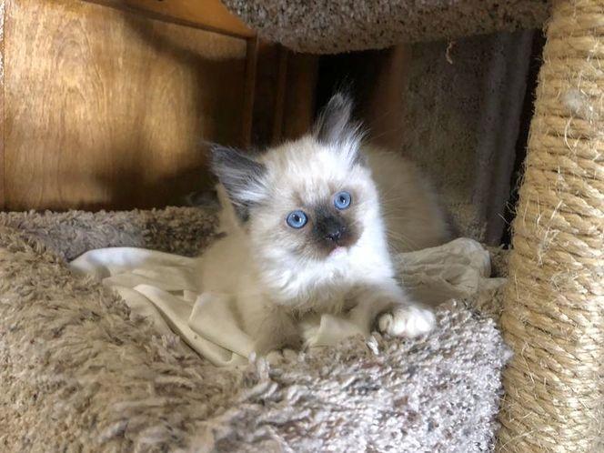 VALENTINE TICA RAGDOLL Kittens in 2020 Ragdoll kittens