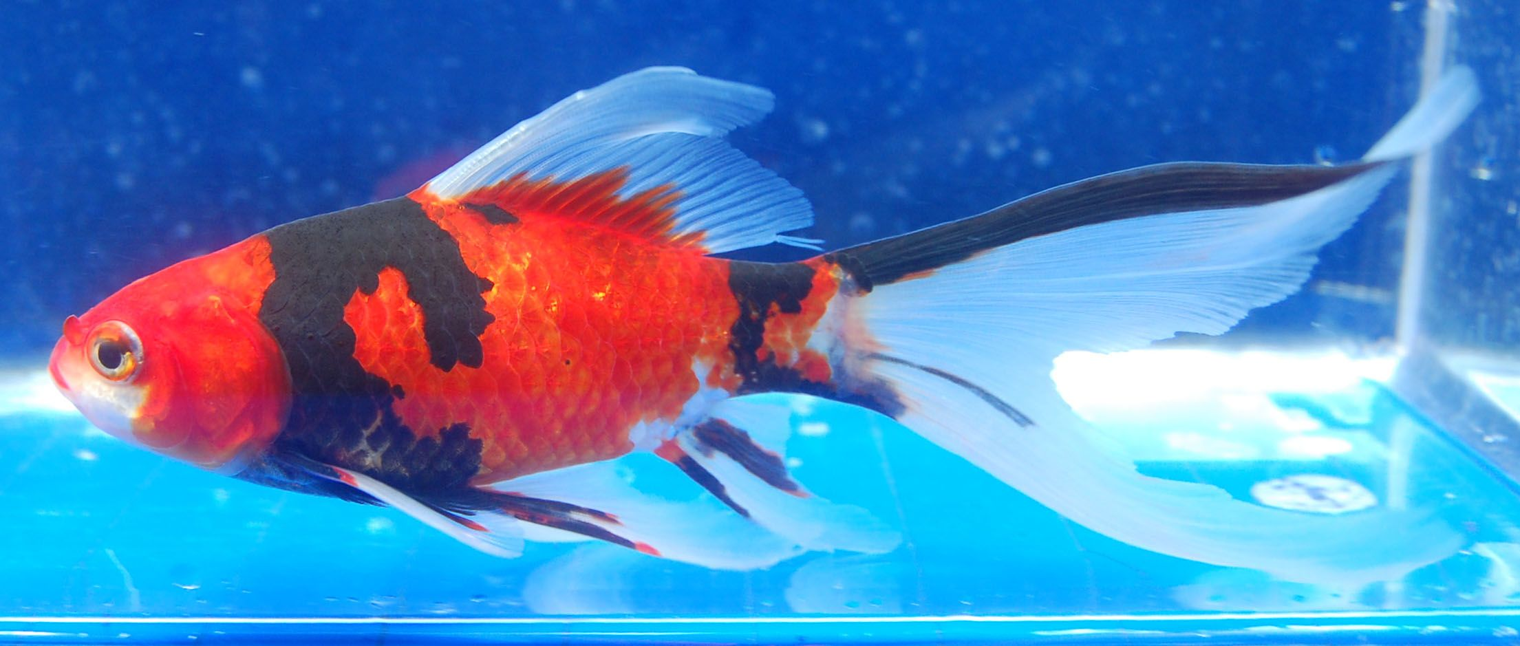 Goldfish - Sanke like Shubunkin | The loveable Goldfish