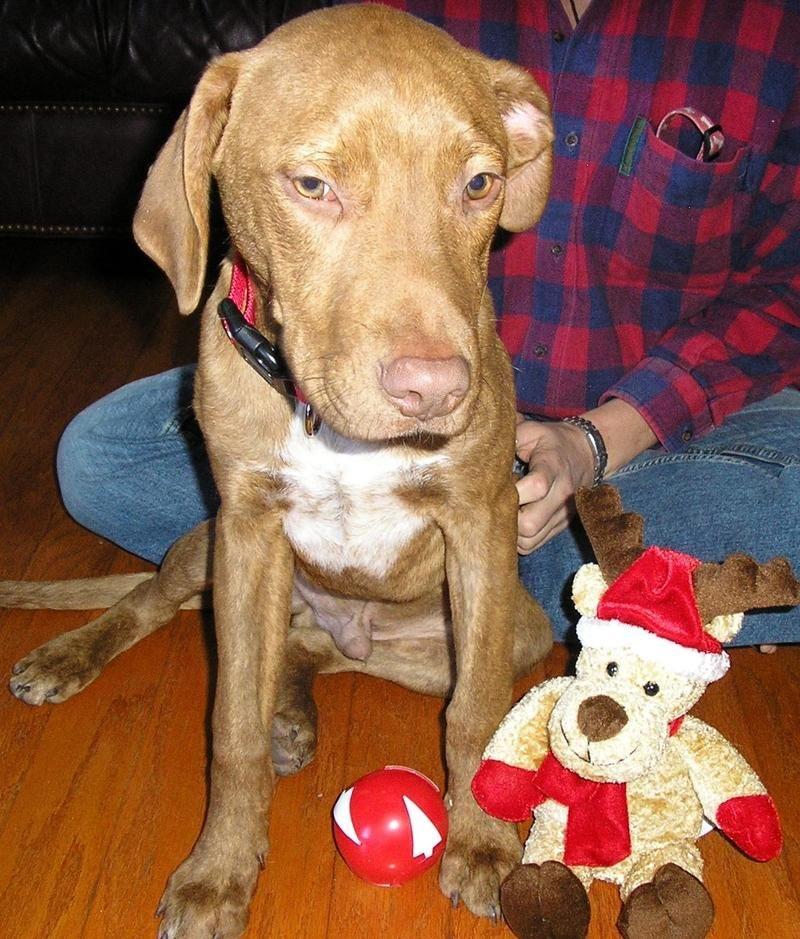 Adopt Marky Mark on Labrador retriever mix, Retriever