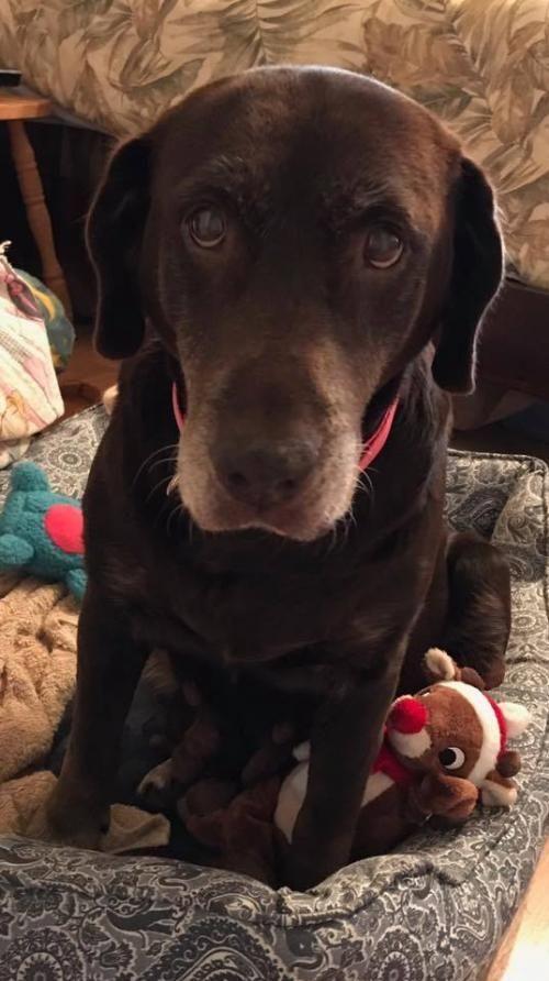 Adopt Ellie Mae On Chocolate Labrador Retriever Labrador