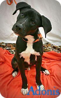 Melbourne Ky Labrador Retriever Mix Meet Adonis A Dog For Adoption Retriever Mix Labrador Retriever Dog Adoption