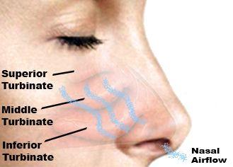 nasal turbinates   Nose   Pinterest