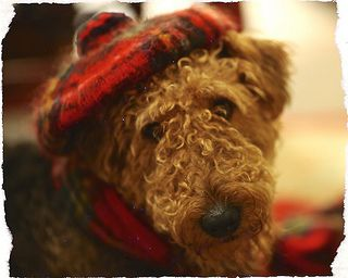 Feeling A Bit Scottish Airedale Terrier Welsh Terrier Scottish