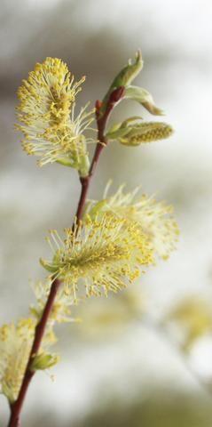 Pussy willow auxin, kyla pratt fotos porno