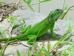 Bwana Iguana Reptile Adventures Green Iguana Iguana Iguana For Sale