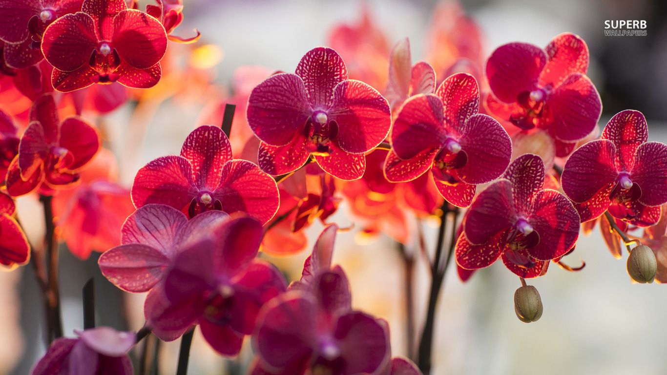 Magenta Orchids Wallpaper Flower Wallpapers 20392 Orchid Wallpaper Orchid Flower Orchids
