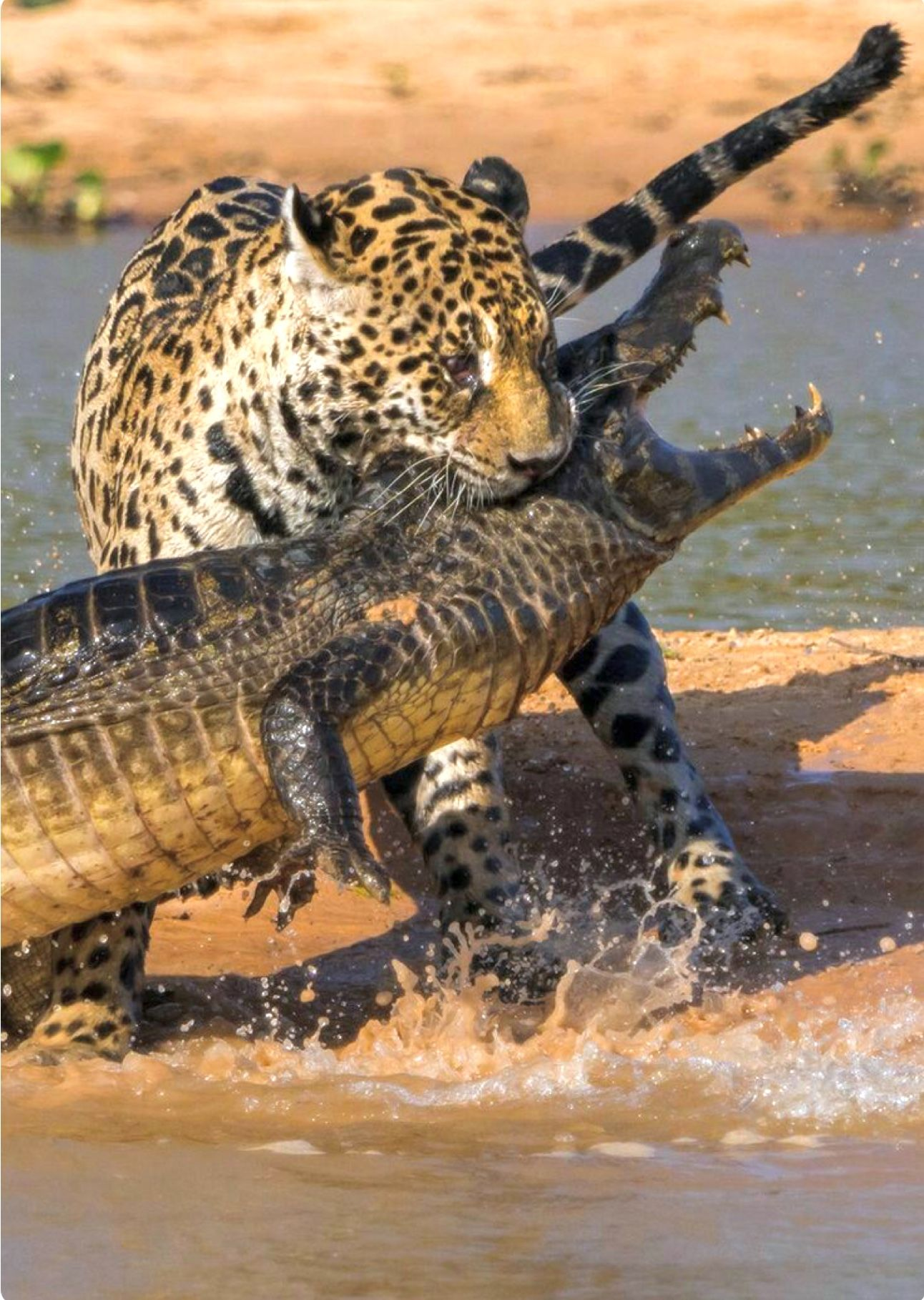 Jaguar Killing A Caiman, A Tropical American Alligator