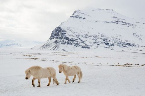 "worldwaits: ""Icelandic horses in the snow, """