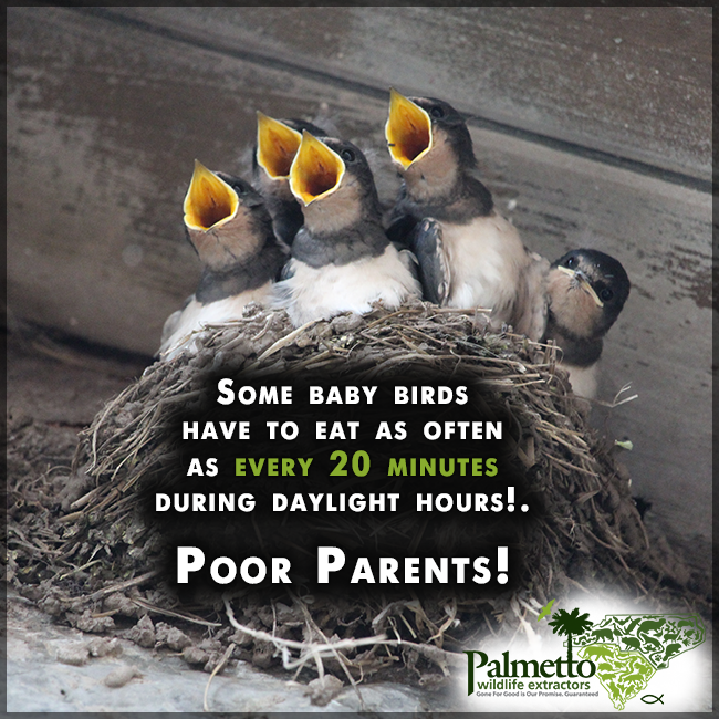 Depending On The Age And Species Baby Birds May Have To Eat As Often As Every 20 Minutes During Daylight Hours Poor P Health Risks Health Baby Bird