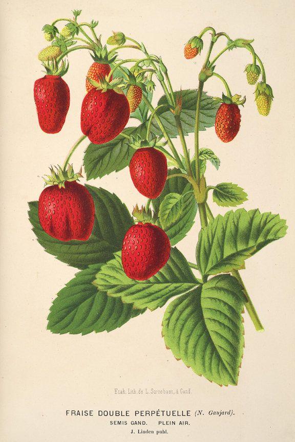 Vintage Strawberry Print Berry Botanical Print