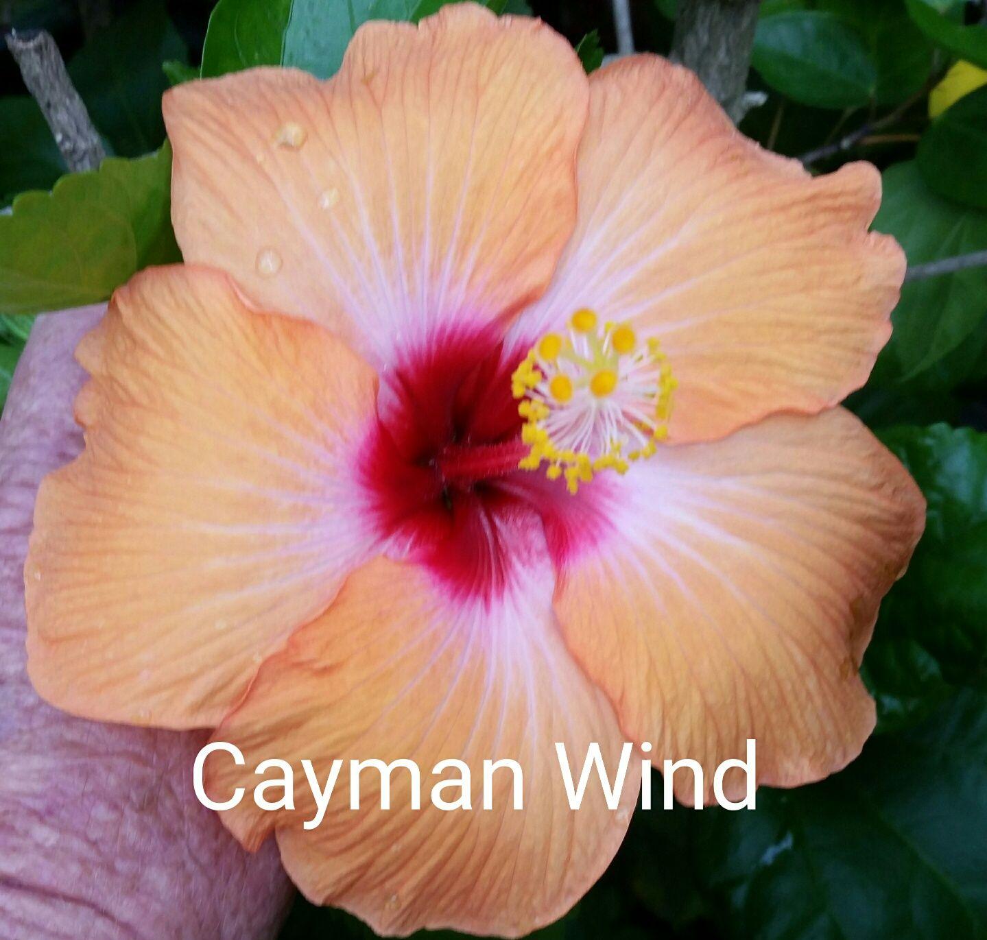 Cayman Wind Hibiscus Hibiscus We Grow Hibiscus Orange Flowers