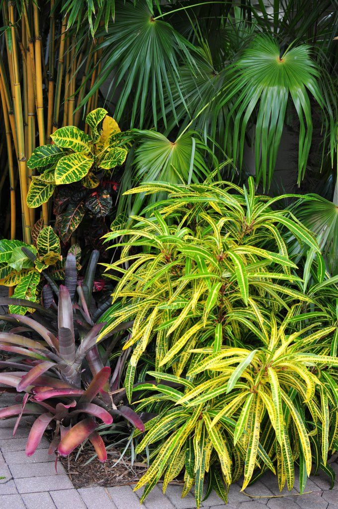 Bamboo Fan Palm Croton And Bromeliad Randy Weisner Garden