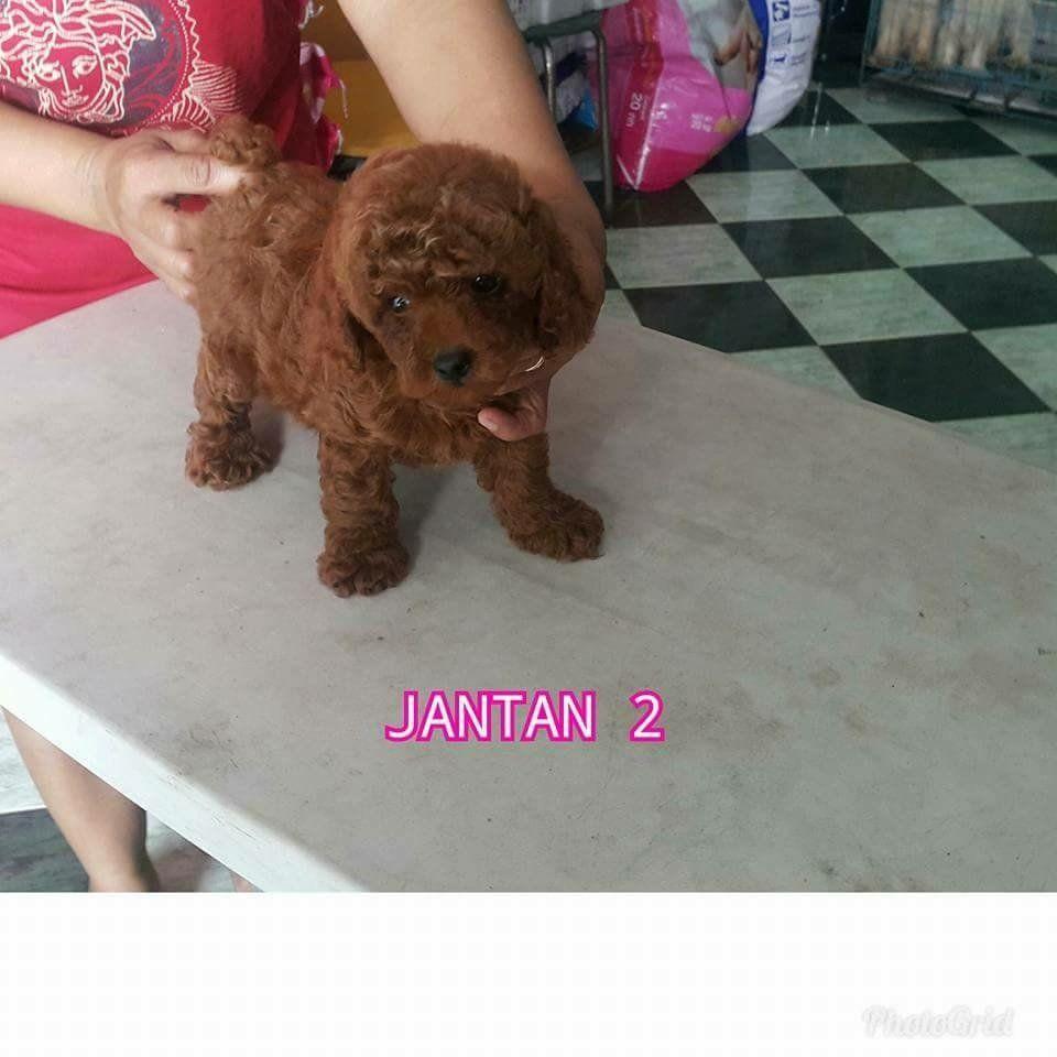 45+ Anjing toy poodle murah terbaru