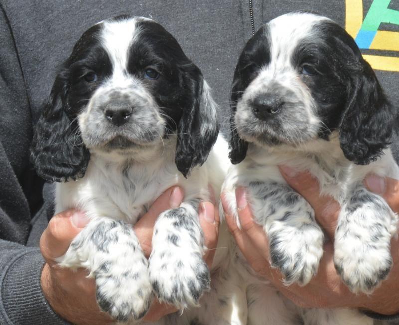Loving blue roan Cocker Spaniel puppies Pedigree Puppies