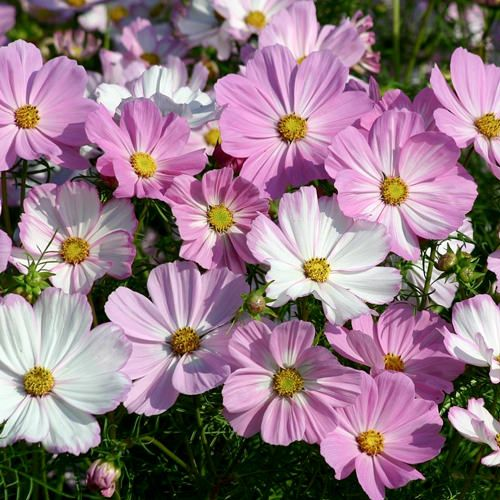Pin On Annual Cosmos