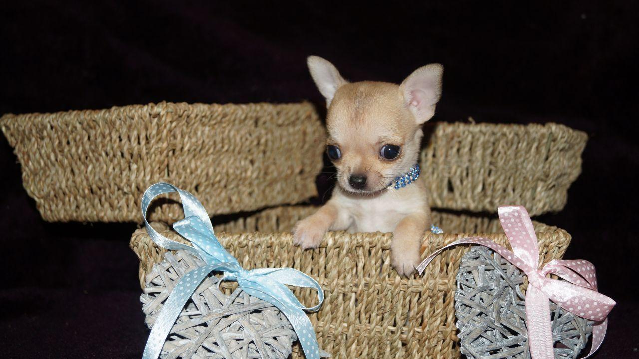 apple head chihuahua puppy names