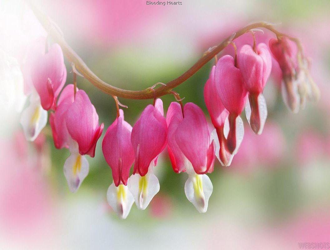 Bleeding hearts flower garden blooms pinterest flower hearts hd wallpaper by sentinel izmirmasajfo