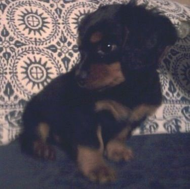 Dashalier Information And Pictures Dachshund Cavalier King
