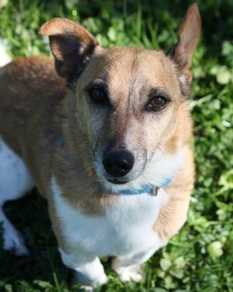 York Rspca Animal Home Theo Animals Dogs Corgi