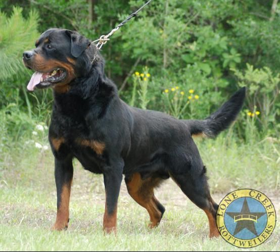 Quincy Of Lonecreek Rottweilers Beautiful German Male Rottweiler Rottweiler Breeders German Rottweiler