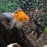 """The Chinese word for goldfish is """"chin-yu"""", which translates to """"gold abundance."""" In feng shui, goldfish attract wealth in abundance."""