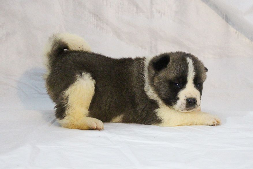 Landle A Male Akc Akita Puppy For Sale In New Haven Indiana Akita Akitadog Akitapuppy Akitapuppies Akitabeauty Puppies Puppies For Sale Akita Puppies
