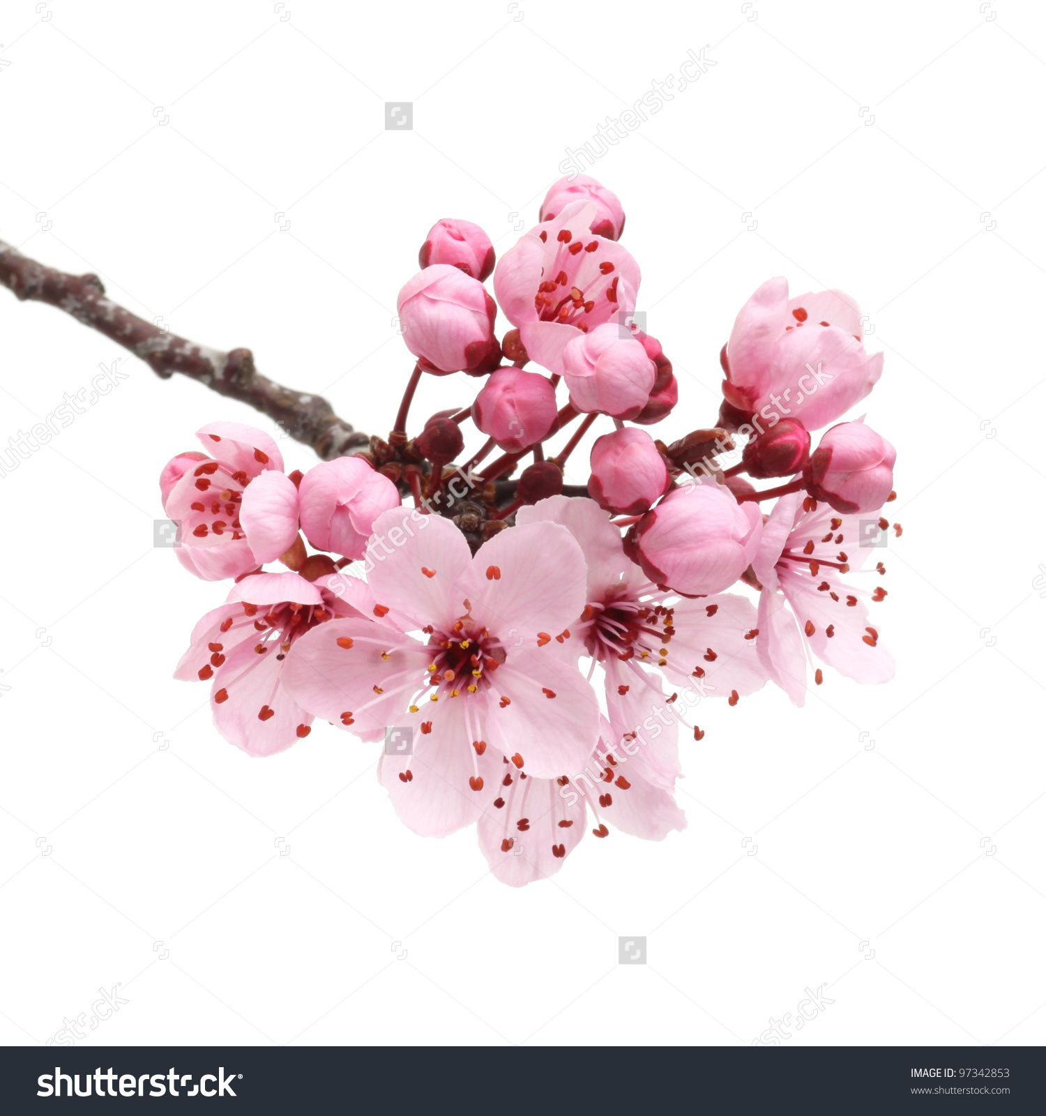 Cherry Blossom Sakura Flowers Isolated On Stock Photo