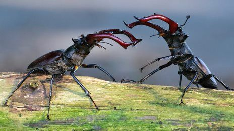 How stag beetles bite so hard   science & nature i like