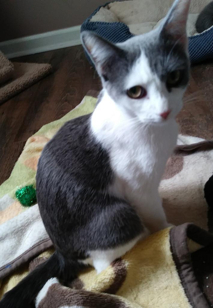 Adopt Misty on Pet adoption, Russian blue, Adoption
