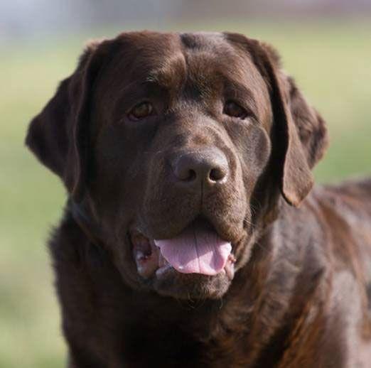 Ch Grandvista S Just Like Gideon Brown Labrador Retriever Lab Dogs Chocolate Lab